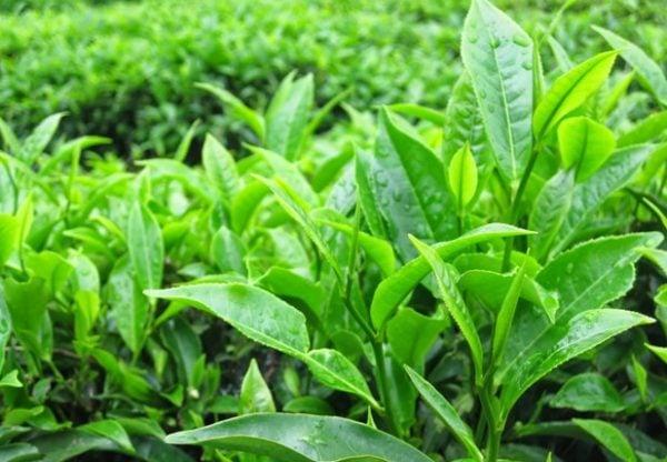 Trà xanh có tác dụng với sức khỏe